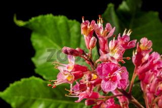 Aesculus × carnea Flesh red horse chestnut green leaves