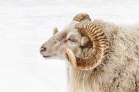 Portrait of a ram