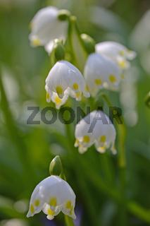 Fruehlings Knotenblume, Leucojum vernum, Berlin, Deutschland, Eu