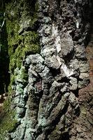 grobe Borke einer alten Hänge-Birke (Betula pendula), teilweise mit Moos bewachsen