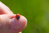 ladybird at morning. ladybug crawling on your finger