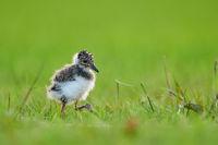 Northern lapwing chick