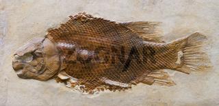 Versteinerung eines Dickschupperfisch Lepidotes maximus