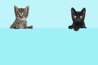 Two cute kittens hanging over a blue board with space for text on a blue background