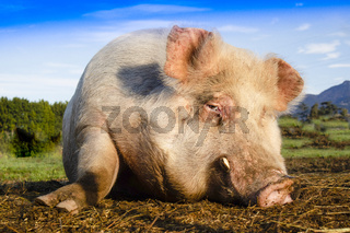 Portrait of a pig in the moment of rest