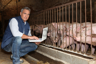 50 years old breeder with a laptop in front of pigs