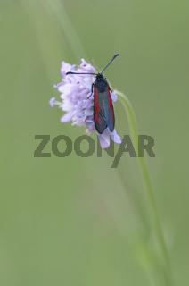 Thymian-Widderchen (Zygaena purpuralis), Deutschland