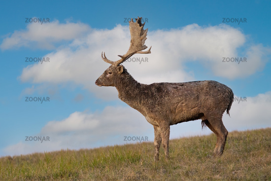 Fallow deer standing on grass from profile in autumn