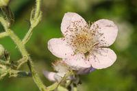 Blüte einer Brombeere (Rubus fruticosus agg.)