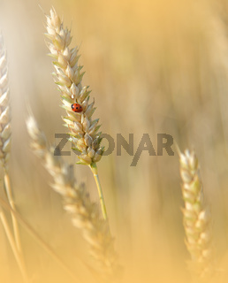 Beautiful Nature Background.Wheat Field.Ears of Golden Wheat Close up.Sunset Landscape.Rural Scenery