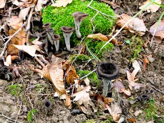 craterellus cornucopioides mushrooms