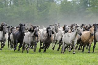Duelmener Wildpferde, galoppierende Herde, wild herd of Duelmen Ponies at a gallop