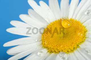 Camomile with dew drops