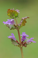 Gill-over-the-ground (Glechoma hederacea)