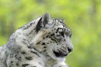 Leopard 011