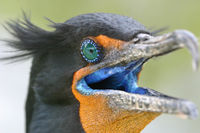 Double Crested Cormorant (Phalacrocorax auritus) in Mating Plumage