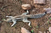 Indian Palm Squirrel, Funambulus palmarum, Ranathambore, Rajasthan, India
