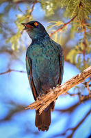 Cape Glossy Starling, Kgalagadi Transfrontier National Park, South Africa, (Lamprotornis nitens)
