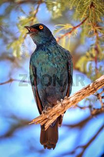 Glanzstar, Kgalagadi-Transfrontier-Nationalpark, Südafrika, (Lamprotornis nitens) |  Cape Glossy Starling, Kgalagadi Transfrontier National Park, South Africa, (Lamprotornis nitens)
