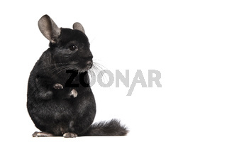 animal; pet; rodent; chinchilla; cute; black color; looking at camera; animal themes; full length; studio shot; front view; full length; looking at camera; alertness; adorable; cute; standing; black; isolated; white background; upright, copy space