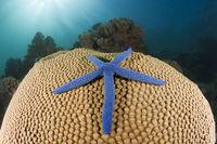 Seestern, Papua Neuguinea