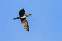 Great Cormorant in juvenile plumage / Phalacrocorax carbo