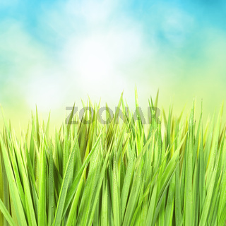 Green grass with sunny bokeh. Square composition.