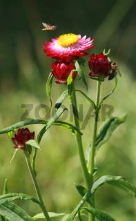Strohblume und fliegendes Insekt