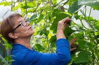 Mature woman gardener in greenhouse