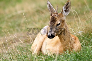 roebuck in captivity showing how the trophy is affected in this conditions