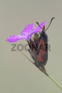 Thymian-Widderchen, Deutschland,  (Zygaena purpuralis)