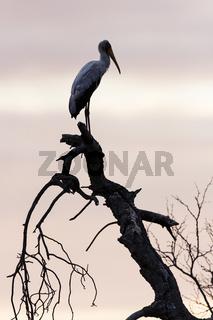 Nimmersatt (Mycteria ibis)