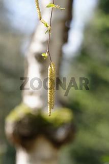 Blütenkätzchen einer Birke im Frühjahr