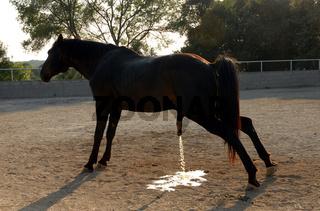 urinate horse