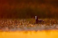 Eurasian coot