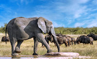 elephant at an artificial waterhole, Etosha National Park, Namibia, (Loxodonta africana)