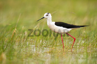 Black-winged stilt wading in water of wetland in summer nature
