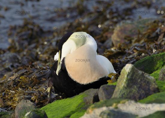 Oath pension - Somateria mollissima
