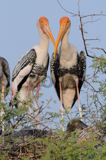 Buntstochpaar am Nest