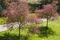 Blossom trees at spring, North Rhine-Westphalia, Germany, Europe