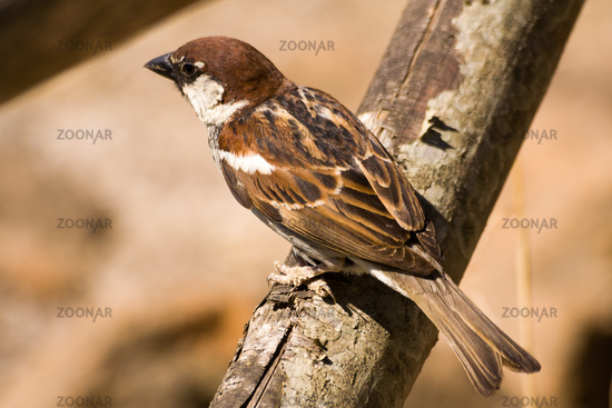 Brown songbird sparrow