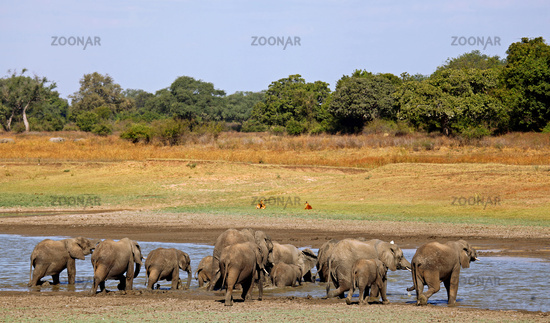 Elephants at a river in South Luangwa, Zambia