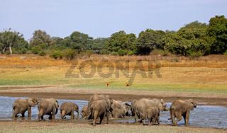 Elefantenherde am Fluss im South Luangwa Nationalpark, Sambia; Loxodonta africana; Elephants at a river in South Luangwa National Park, Zambia