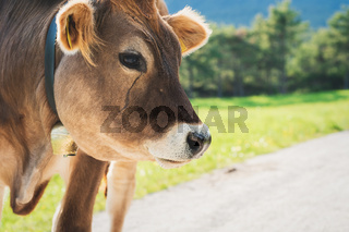 Detail of cute sunlit calf on an alpine pasture meadow in the mountains, Mieming, Tirol, Austria