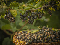 Harvested black currants in a wicker basket under a fruiting branch of a currant bush