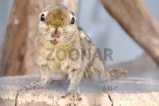 A striped rodents marmots chipmunks squirrel spotted on a tree trunk on hunting mood. Animal behavior themes. Focus on eye