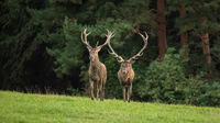 Two red deer stags approaching on a green meadow in autumn from front view
