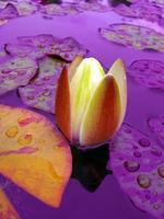violet pond