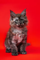Cute little kitten of Gentle giants with furry fur of color black smoke sitting on red background