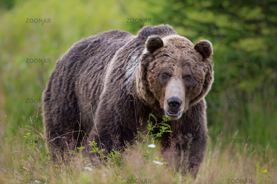 Huge brown bear standing on blooming meadow from front